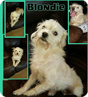 Maltese Mix Dog for adoption in Snyder, Texas - Blondie