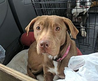 American Staffordshire Terrier/Pit Bull Terrier Mix Puppy for adoption in Covington, Tennessee - Penelope