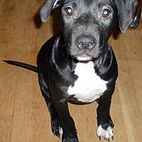 Adopt A Pet :: Lapis - Detroit, MI