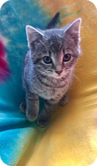 Domestic Shorthair Kitten for adoption in Toledo, Ohio - Kierra