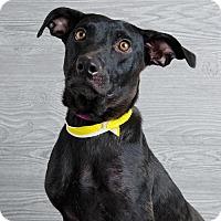 Adopt A Pet :: Tazmin - Denver, CO