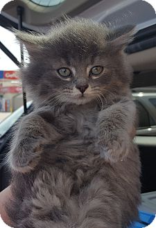 Domestic Mediumhair Kitten for adoption in Irwin, Pennsylvania - Loki