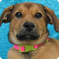 Adopt A Pet :: Pretty Face Pacey-Murray - Cuba, NY