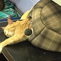 Adopt A Pet :: CAROLINE - Franklin, TN