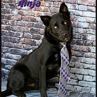 Adopt A Pet :: Ninja - Dixon, KY