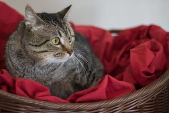 Domestic Shorthair Cat for adoption in Davenport, Iowa - Bourbon