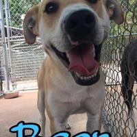 Adopt A Pet :: Bear - Huntsville, TX
