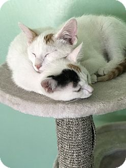 Domestic Shorthair Kitten for adoption in Bakersfield, California - Sunday and Wednesday