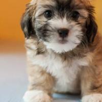 Adopt A Pet :: Truffle - Eugene, OR