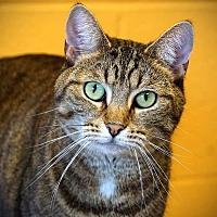 Adopt A Pet :: Shortcake - Cincinnati, OH