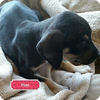 Adopt A Pet :: Maggie Puppy - Pluto - Clear Lake, IA