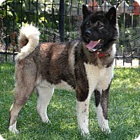 Akita Dog for adoption in West Valley, Utah - PERCY