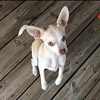 Adopt A Pet :: Chalupa - Flower Mound, TX
