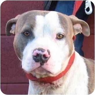 American Pit Bull Terrier Mix Dog for adoption in Berkeley, California - Otis