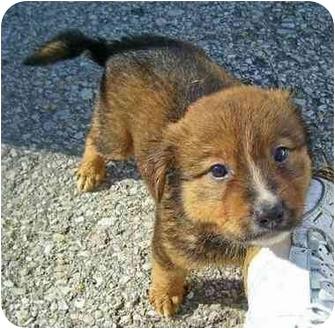 Sheltie, Shetland Sheepdog Mix Puppy for adoption in Cincinnati, Ohio - Chubby & Tubby