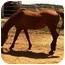 Photo 3 - Quarterhorse/Arabian Mix for adoption in Sac, California - Shawnee