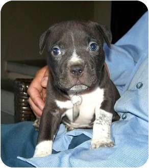 American Staffordshire Terrier/American Pit Bull Terrier Mix Puppy for adoption in Santa Ana, California - Crash