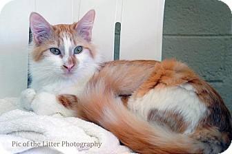 Domestic Mediumhair Cat for adoption in Scottsdale, Arizona - Louisa