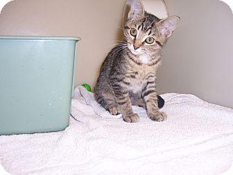 Domestic Shorthair Cat for adoption in Larned, Kansas - Serabi