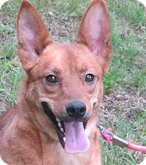 Terrier (Unknown Type, Medium)/Carolina Dog Mix Dog for adoption in Harrisonburg, Virginia - Mylo