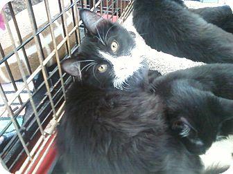 Domestic Mediumhair Kitten for adoption in Richmond, Virginia - Boots