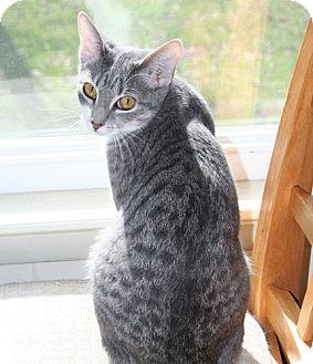 Domestic Shorthair Cat for adoption in Asheville, North Carolina - Emma
