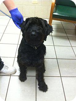 Schnauzer (Giant) Dog for adoption in Chicago, Illinois - MAYA