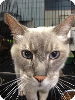 Siamese Cat for adoption in Brooklyn, New York - Blue