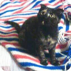 Scottish Fold Kitten for adoption in Cincinnati, Ohio - Monica