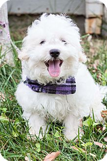 Bichon Frise/Poodle (Toy or Tea Cup) Mix Puppy for adoption in Auburn, California - Simon