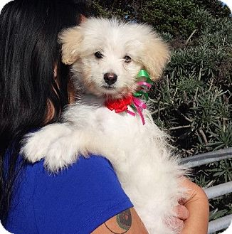 Pomeranian/Toy Poodle Mix Puppy for adoption in Encinitas, California - Dodger