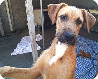 Irish Wolfhound Mix Dog for adoption in Canoga Park, California - Sean