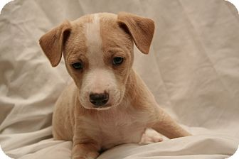 Jack Russell Terrier/Corgi Mix Puppy for adoption in Cashiers, North Carolina - Chase