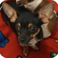 Adopt A Pet :: Angus - burger brother! - Phoenix, AZ