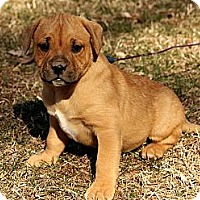 Adopt A Pet :: Brinkley - Brattleboro, VT