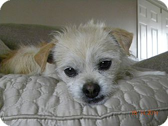 Cairn Terrier/Pekingese Mix Dog for adoption in Fort Collins, Colorado - HURLEY