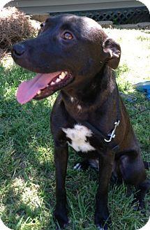 Labrador Retriever/Boxer Mix Dog for adoption in Columbia, South Carolina - Rita