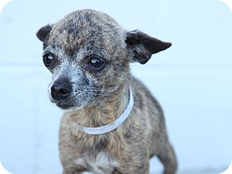 Chihuahua Mix Dog for adoption in Hawthorne, California - Jenny