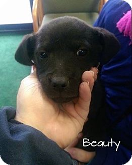 Labrador Retriever Mix Puppy for adoption in Cranford, New Jersey - Beauty