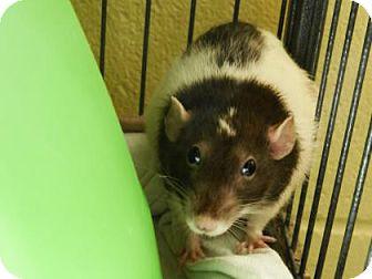 Rat for adoption in Lowell, Massachusetts - Sun Bear