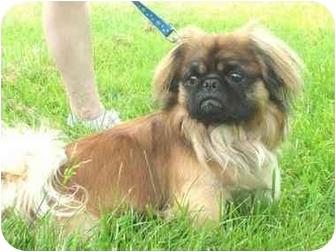 Pekingese Dog for adoption in Powell, Ohio - Baron