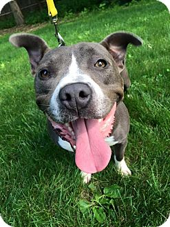 Pit Bull Terrier Mix Dog for adoption in Southampton, Pennsylvania - Stella