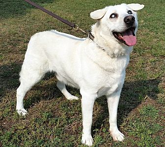 Akita/Labrador Retriever Mix Dog for adoption in Post Falls, Idaho - DUCKY - BLIND