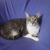 Adopt A Pet :: Duffy - Sarasota, FL