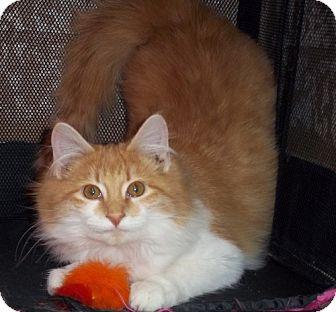 Domestic Mediumhair Cat for adoption in Greenville, Kentucky - Buzz