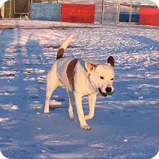 Bulldog/Australian Cattle Dog Mix Dog for adoption in Montpelier, Idaho - Luke