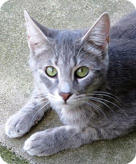 Domestic Shorthair Cat for adoption in Gonzales, Texas - Zoom Zoom