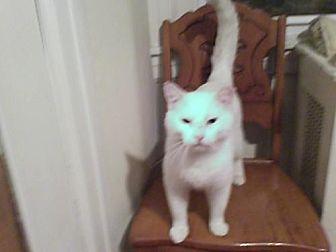 Domestic Shorthair Cat for adoption in Philadelphia, Pennsylvania - Snowflake