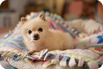 Pomeranian Dog for adoption in Dallas, Texas - RUFFY