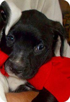 Bulldog Mix Puppy for adoption in Hockessin, Delaware - Franklin